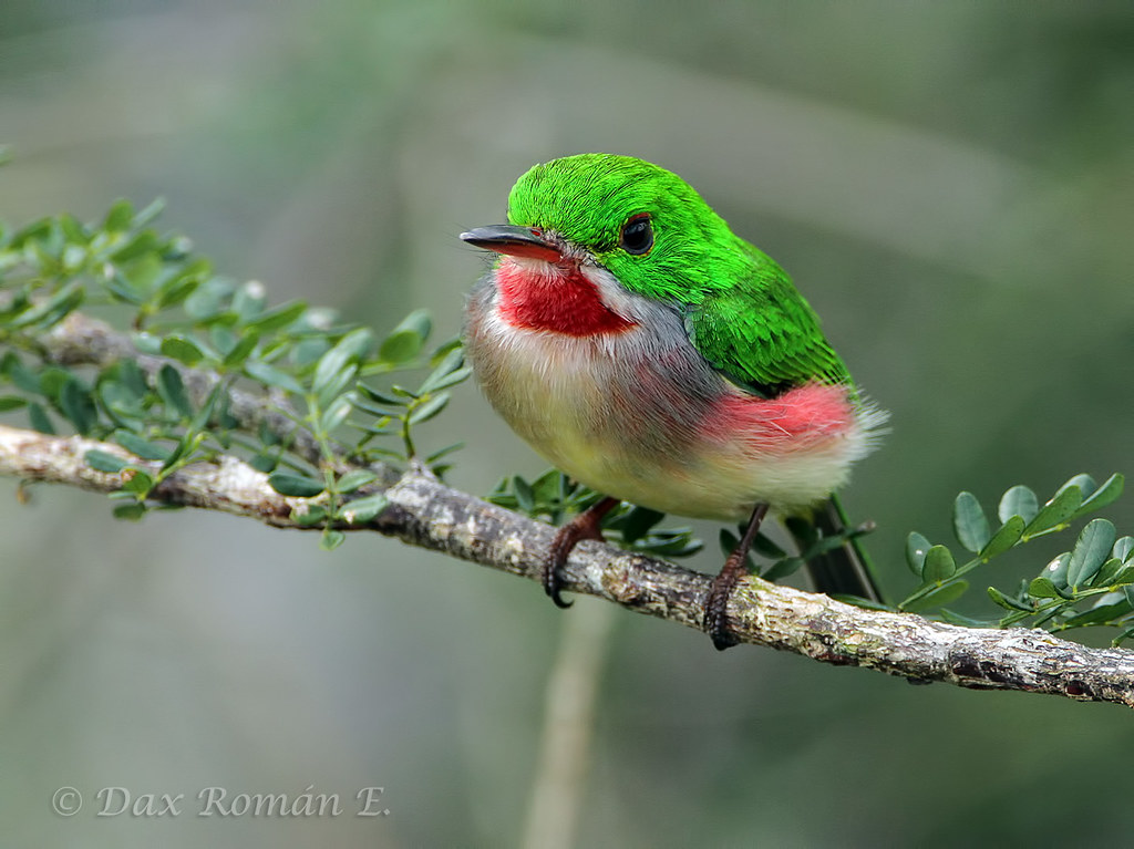 Broad Billed Tody Barrancoli Broad-billed Tody