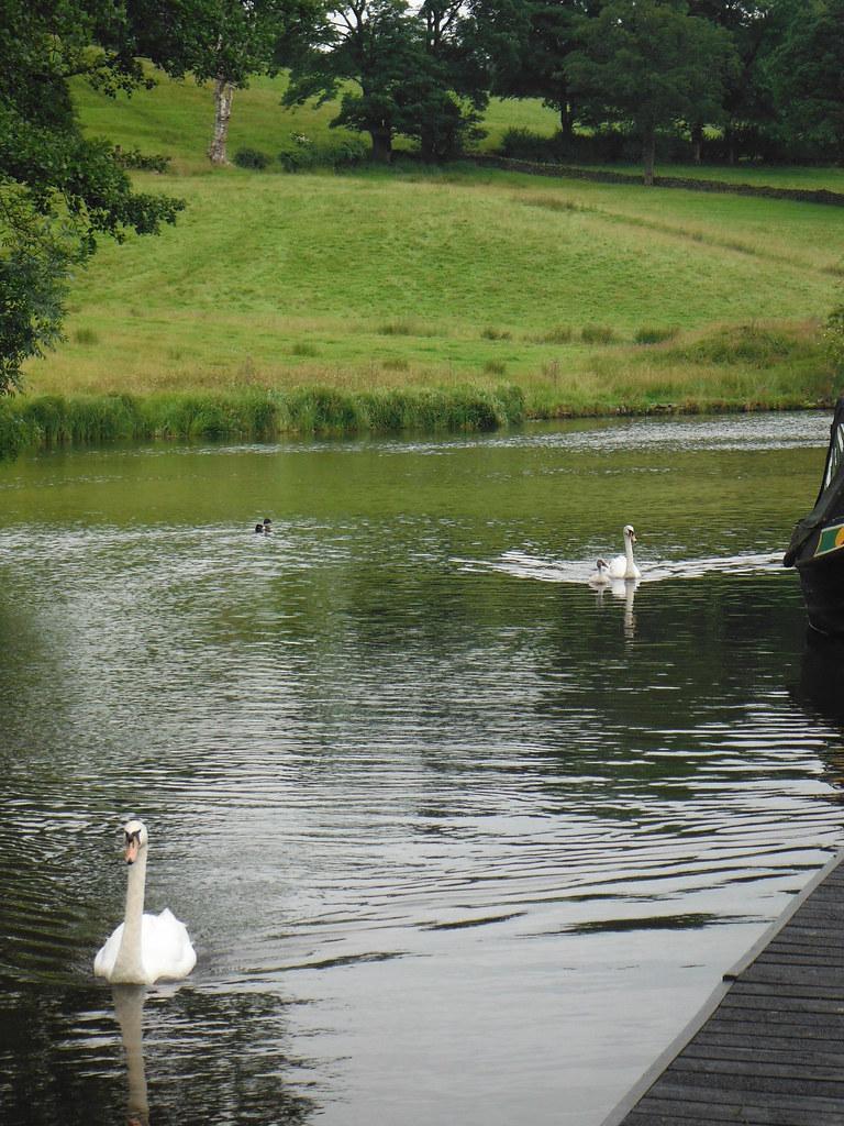 Swan Family 3