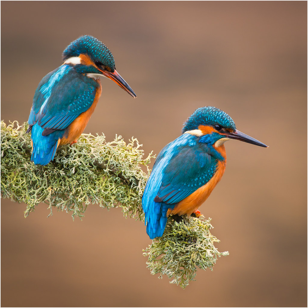 Common Kingfisher Pair David P Hughes Flickr