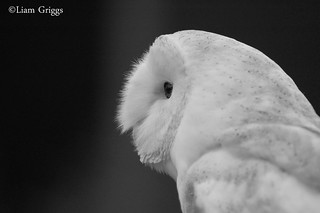 Black & White Barn Owl | by Liam Griggs