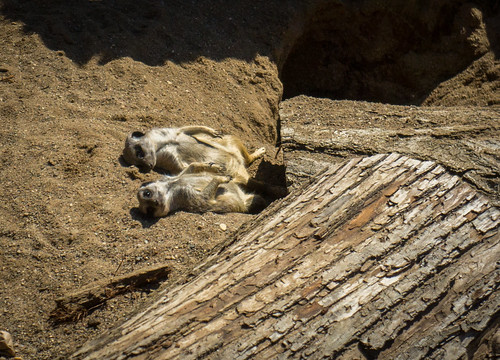 Meerkats sunbathing at Potter Park Zoo | by david_shane