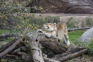 lions at lincoln park zoo 13 | by Eva Blue
