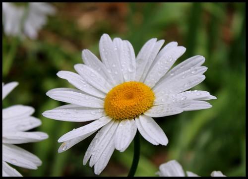 Leucanthemum x superbum  28535252665_ac419efcf0