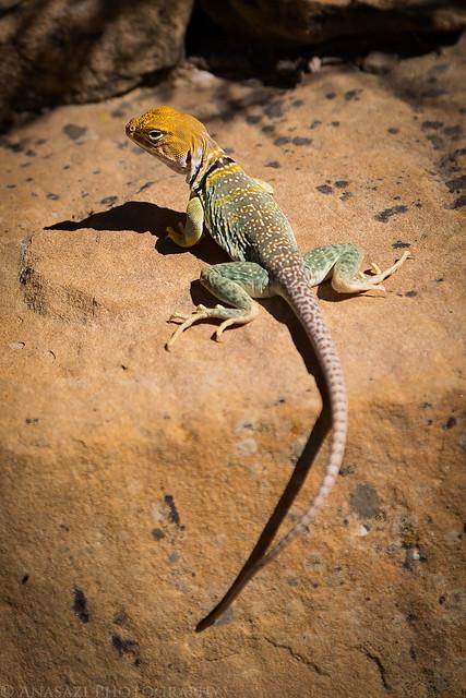Tellerico Lizard