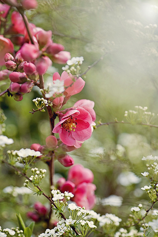 Photograph Flowering Quince by Jacky Parker