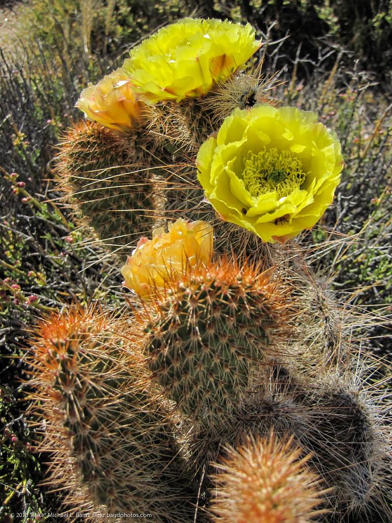 desert cactus flowers teutonia peak trail has the best jo u2026 flickr
