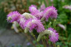 SANGUISORBA 'Candy Floss'