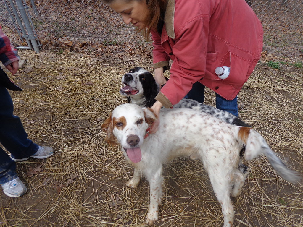 Male, 2Yrs 0 Months white/brown English Setter Dog 245246 ...