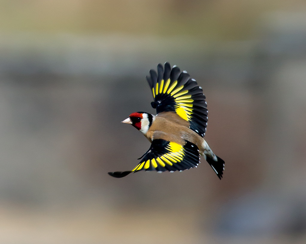 goldfinch 10 52 european gol flickr