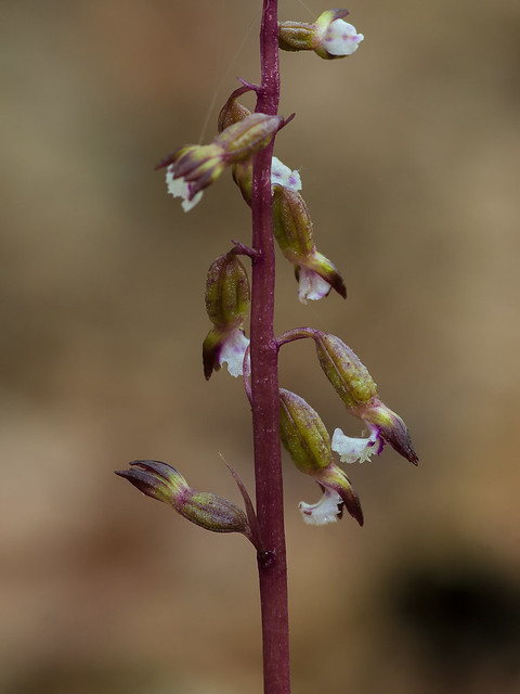 Autumn Coral Root orchid
