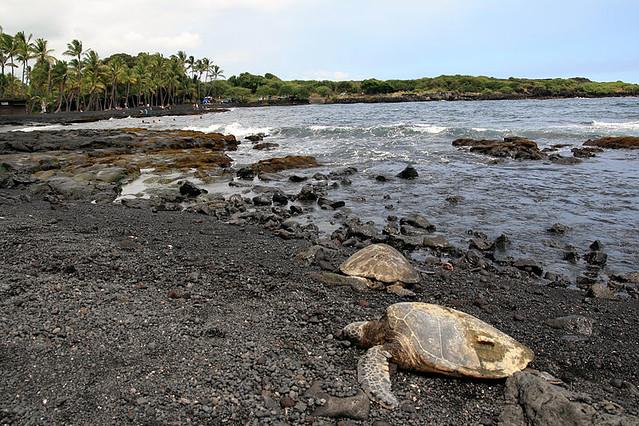 Tortugas desovando en Ostional (Costa Rica)