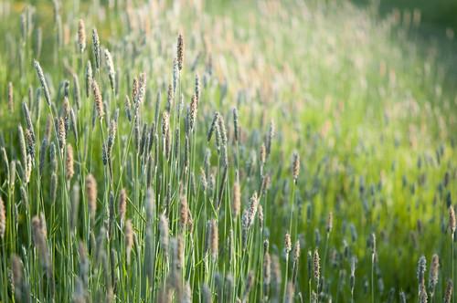 June meadow grasses