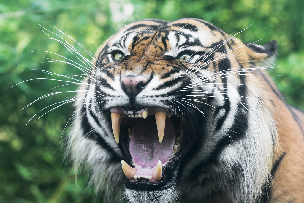 angry tiger photos - photo #20