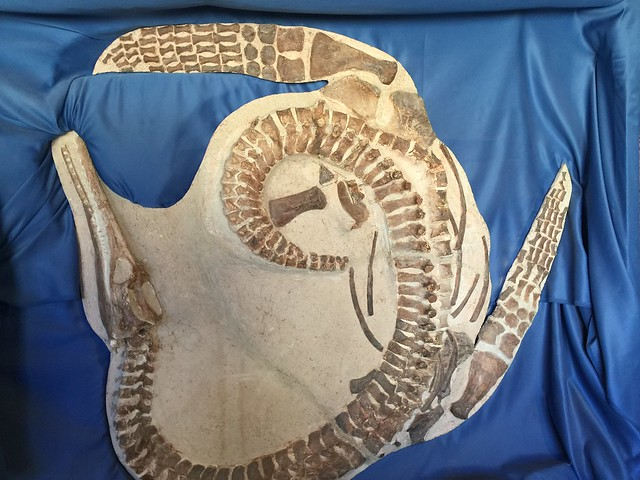Fósil de dinosaurio en el museo de Molina de Aragón (Guadalajara)