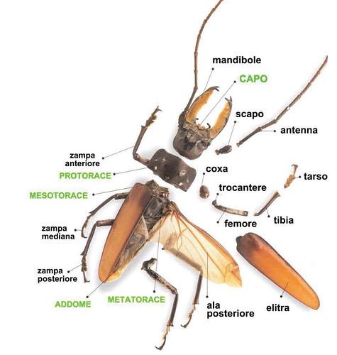 le parti di un insetto