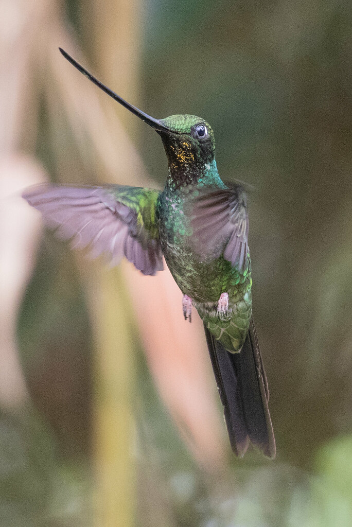Sword-billed Hummingbird