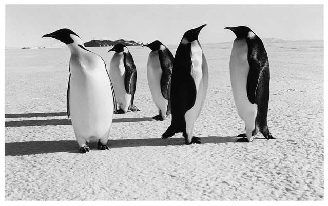 Emperor Penguins at Cape Royds