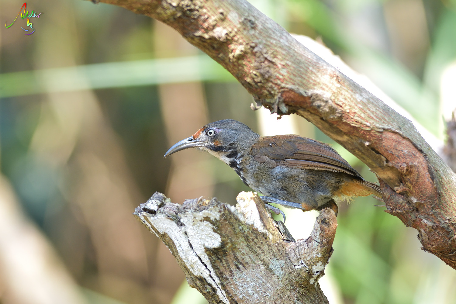 Rusty-cheeked_Scimitar_Babbler_4776
