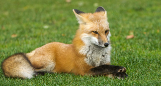 IMGL0004 Fox Kit 2016 Relaxing | by Wallace River