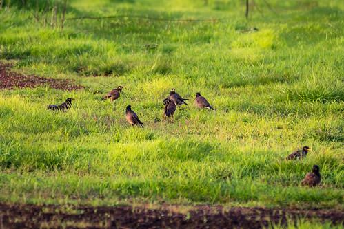 Mynas on a field