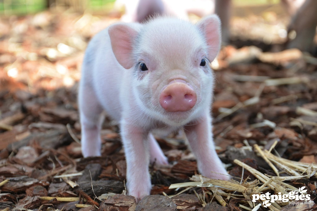 cute micro pig at petpiggies | If you are interested in ...