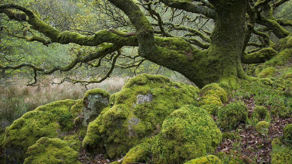 Atmosphere >> Ty Canol | An ancient wood of Oak trees growing amidst mossy… | Flickr