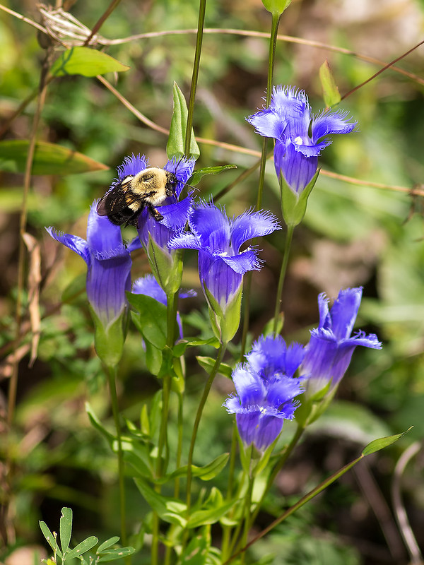 Bumble Bee on Fringed Gentian flower
