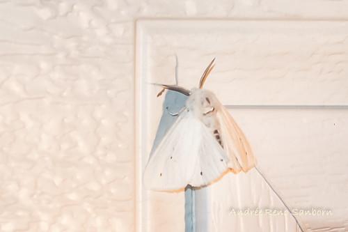 Virginia Tiger Moth (Spilosoma virginica)