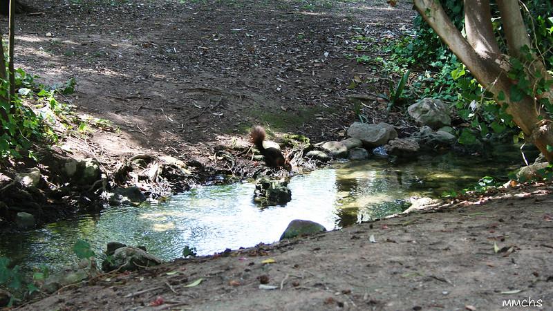 ardilla bebiendo en charca del parque de L'eliana