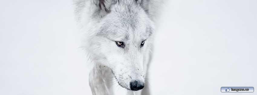 Capa Para Facebook Lobo Wolf Veronikacorrea Flickr