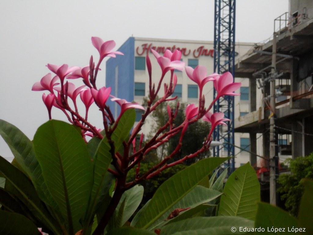 Frangipane rosados