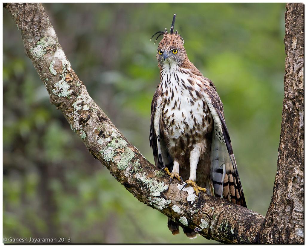 Crested Hawk Eagle Nisaetus Cirrhatus Kabini Karnataka Flickr
