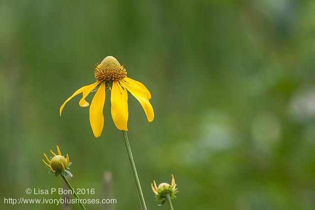 2016.07.21RMNPflowers06