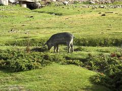 Sur le sentier de l'Eau : les cochons traditionnels