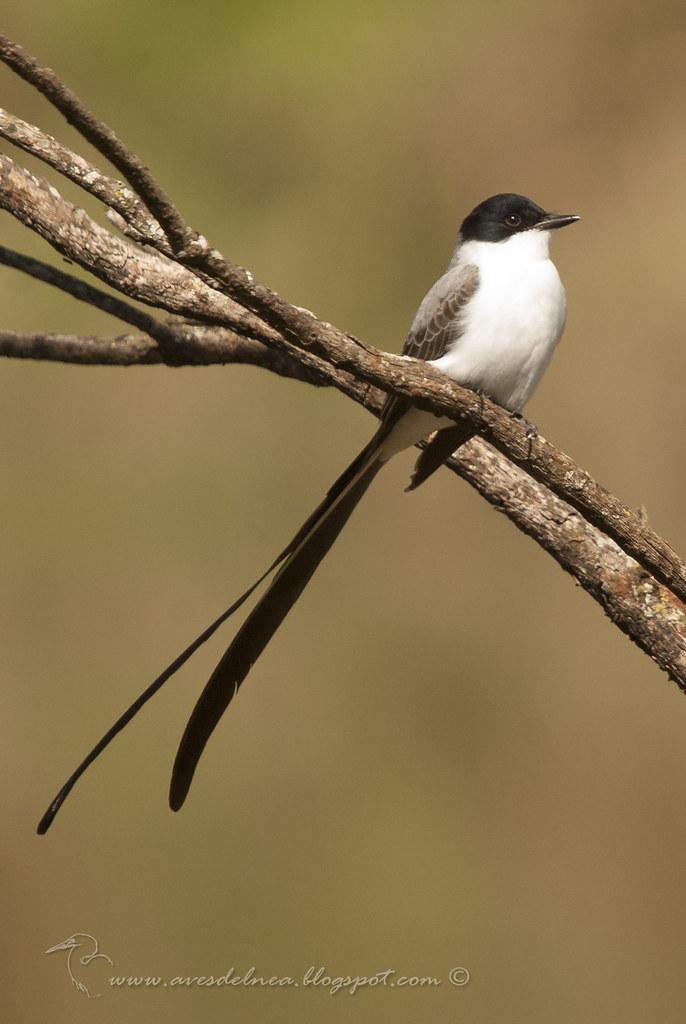 Tijereta (Fork-tailed Flycatcher) Tyrannus savana