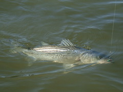 Striped bass on the line