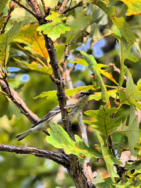 Yellow-rumped Warbler HDR 02-20160925