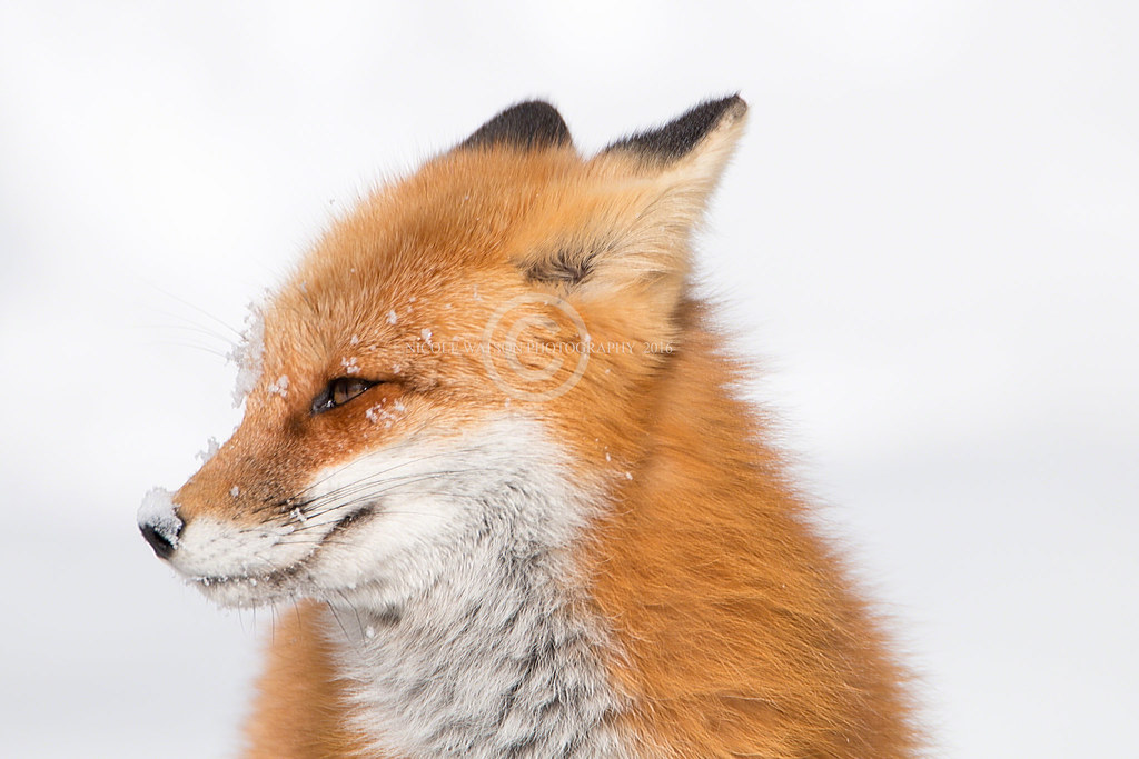 Fox images A smiling fox wallpaper and background photos (11019818)