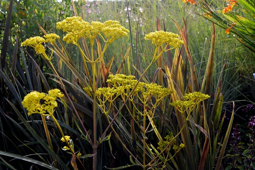 PATRINIA scabiosifolia