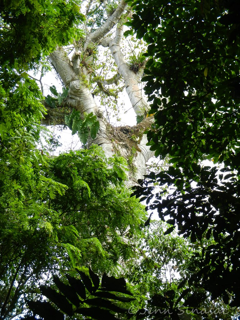 Harpy Eagle nest | A giant Cuipo Tree (Cavanillesia ...