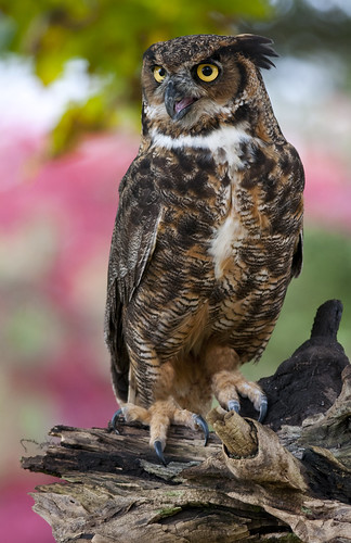 Great horned owl 6 | by Jen St. Louis