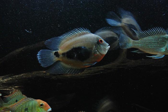 Уару чернопятнистый (Uaru amphiacanthoides), фото фотография цихлиды рыбы