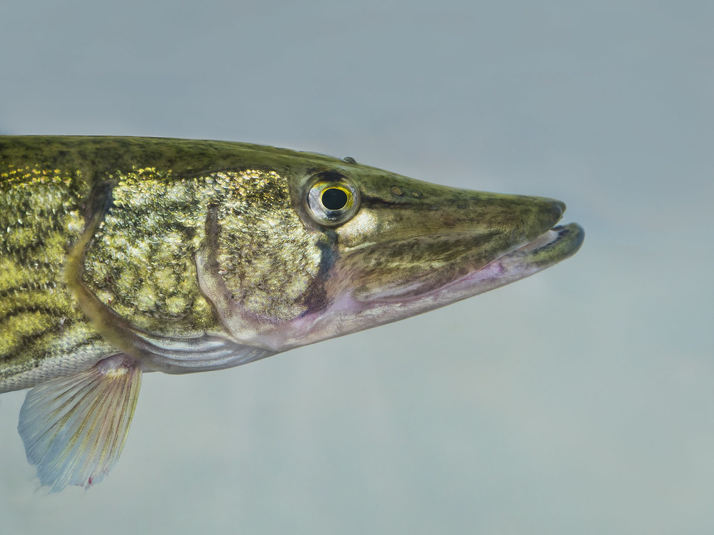 Chain Pickerel | © Jim Gilbert 2012 all rights reserved Hack… | Flickr