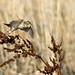 1205_0402 Savannah Sparrow