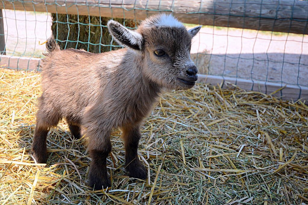 Baby Goat Smiling Cute Baby Goat