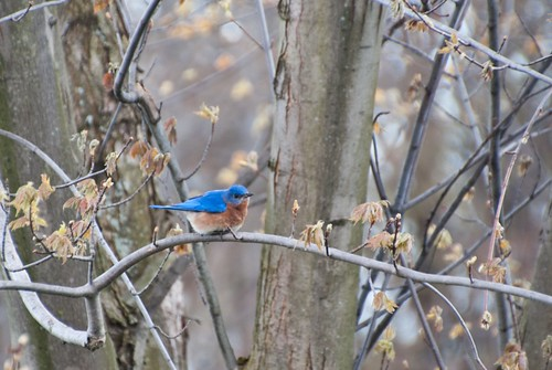 One little bluebird, sitting in a tree | by Christy Hibsch ( Christy's Creations on Facebook )