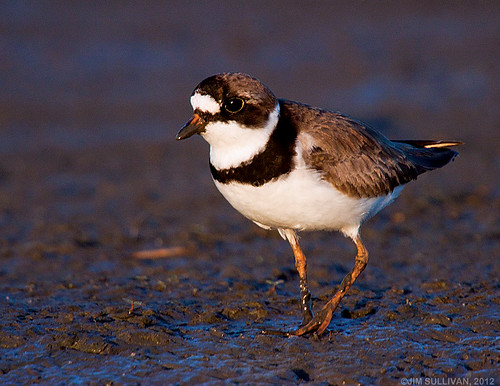 Semipalmated Plover by Jim Sullivan | by jb.sullivan