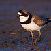 Semipalmated Plover by Jim Sullivan