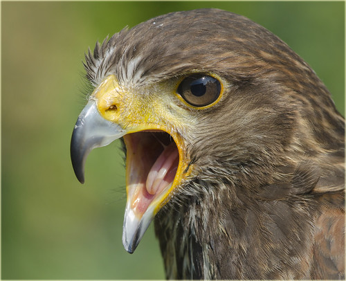 Harris Hawk   (parabuteo unicinctus) | by jimmyedmonds