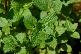 Mint leaves close up by Eve Fox, Garden of Eating blog, copyright 2012 | by Eve Fox